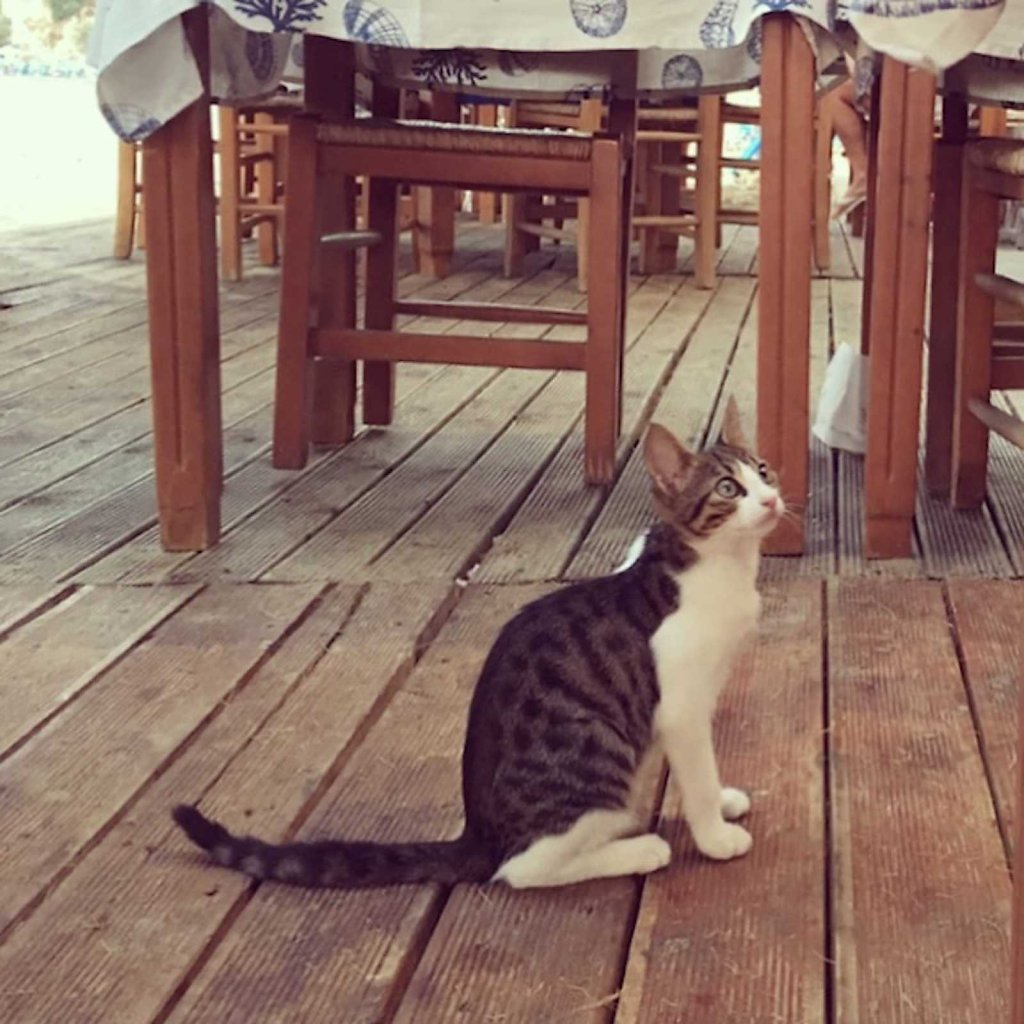 Cretan cat in its natural setting