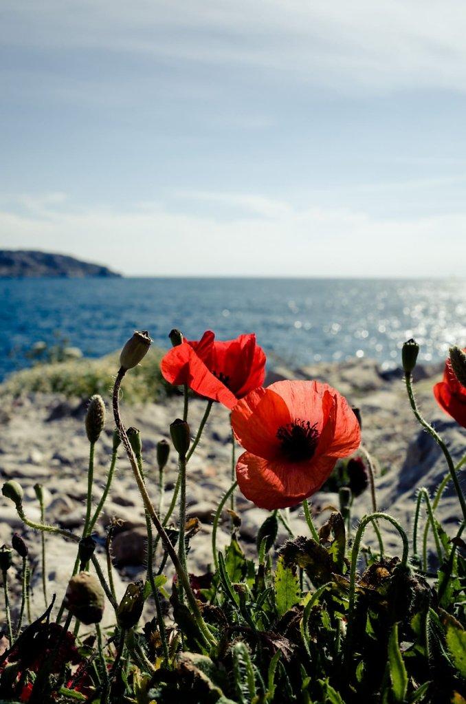Poppy flowers, Marseille